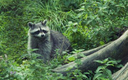 Heimische und fremde Arten: Ideologie vs. Ökologie im Naturschutz