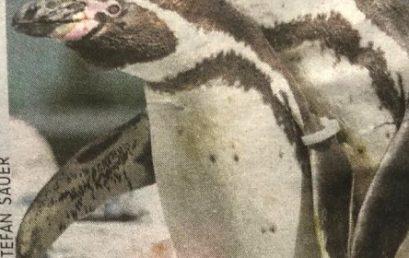 Humboldt und die Pinguine